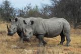 Rhinoceros pair in South Africa Photographic Print by Al Riutort