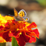 Butterfly on flower in New Hampshire Photographic Print by Janet Ames