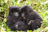Primates baby Gorillas in Rwanda Photographic Print by Donald Bruschera