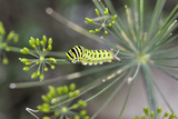 Green caterpillar in Ohio Photographic Print by Sheila Vent