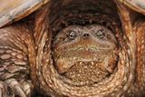 Reptile Tortoise in Michigan Fotografisk tryk af Teresa McGill