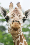 Giraffe close up in Alabama Zoo Photographic Print by Frances Duggins