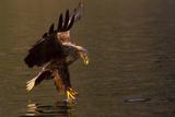 White Tailed Eagle in Norway Reprodukcja zdjęcia autor Dr. Hermann Brehm