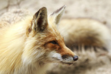 Red Fox portrait in Canada Photographic Print by Christopher MacDonald MacDonald