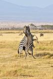 Zebras fifghting in Kenya Photographic Print by Yara Gomez-Sugg
