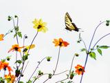Tiger Swallowtail butterfly in Mexico City Reprodukcja zdjęcia autor Kip Kriigel