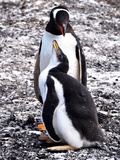 Gentoo Penguin pair in Falkland Islands Photographic Print by Denise Maria Trachta