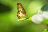 Butterfly on plant in Brazil Reprodukcja zdjęcia autor Luis Fernando Krause