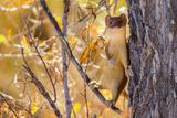 Weasle in tree in Wyoming Reprodukcja zdjęcia autor Steven Lewis