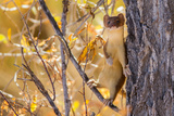 Weasle in tree in Wyoming Photographic Print by Steven Lewis