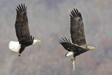 Bald Eagle pair fishing in Maryland Photographic Print by Joseph Giitter