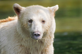Spirit Bear portrait in Canada Photographic Print by Lisa Lazarus
