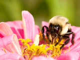 Bee on pink flower in New Hampshire Photographic Print by Tianne Strombeck