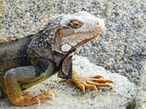 Reptile Iguana in Aruba Photographic Print by Kathy Lawrence