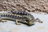 Reptiles pair of Lizards in California Stampa fotografica di Don Drissel