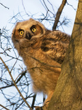 Great Horned Owl in tree in Delaware Photographic Print by Joseph Giitter