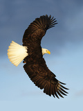 Bald Eagle flying in Alaska Photographic Print by Kevin McCarthy