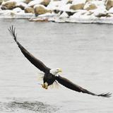 Bald Eagle wing span in Illinois Reprodukcja zdjęcia autor Laura Hedien