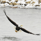 Bald Eagle wing span in Illinois Photographic Print by Laura Hedien