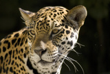 Wild cat Jaguar in Florida Zoo Photographic Print by Elaine Eckert