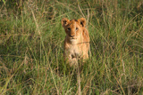 Wild Cat Lion cub in Kenya Photographic Print by Floyd Brown