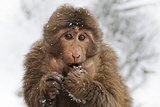 Primate monkey in winter in China Photographic Print by Hubert Lam Soon Loon