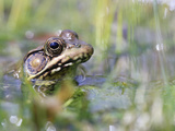 Amphibian Frog in water in Alabama Photographic Print by Julia Bartosh