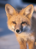 Red Fox close up in Connecticut Photographic Print by Roberto Chavez