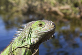 Reptile Iguana in Florida Reprodukcja zdjęcia autor Elaine Eckert