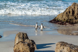 African Penguins pair in South Africa Photographic Print by Christine M Becker