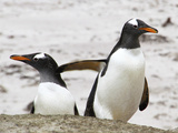 Gentoo Penguin pair in Falkland Islands Photographic Print by Gary Wade