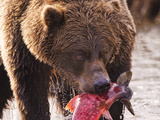 Brown Bear eating fish in Alaska Photographic Print by Kandace Heimerr