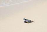 Reptile Baby Sea Turtle in Florida Fotoprint van Nic Stoltzfus
