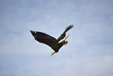 Bald Eagle diving in Washington Photographic Print by Sandy Calwell