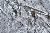 Bald Eagle in Winter in Utah Photographic Print by Paul A. Gardner