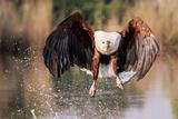 Eagle fishing in Botswana Reprodukcja zdjęcia autor Kandace Heimer