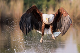 Eagle fishing in Botswana Photographic Print by Kandace Heimer