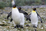 King Penguins in South Georgia Island Photographic Print by Marian Herz