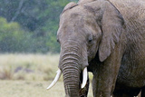 Elephant in rain in Masai Mara Africa Photographic Print by Joe Center