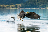 Bald Eagle Fishing in Canada Fotografie-Druck von Larry Paris