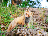 Red Fox in Illinois Photographic Print by Richard Remington