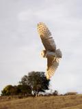 Barn Owl flying in California Fotografisk trykk av Ruth McDunn