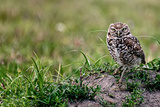 Burrowing Owl on ground in Florida Photographic Print by Janine Edmondson
