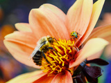 Bee and Beetle together in Michigan Photographic Print by Stephanie Maatta Smith