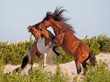 Wild horses o Assateague Island Photographic Print by Jack Nevitt