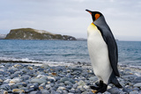 King Penguin in Antarctica Photographic Print by John Rollins