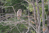 Barred Owl in tree in in Massachusetts Photographic Print by George Brehm