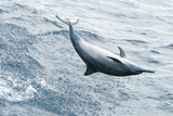 Dolphin swimming in Atlantic Ocean Photographic Print by Marian Herz