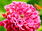 Skipper butterfly in Virginia Reprodukcja zdjęcia autor Elizabeth Costales