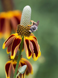 Bee on flower in Texas Photographic Print by Chuck Duplant